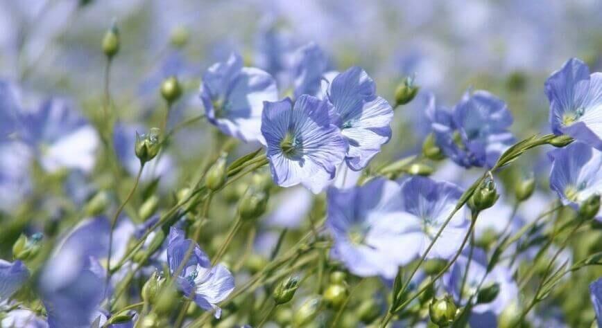 champ-de-fleur-de-lin